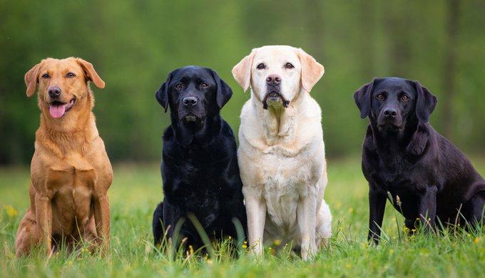 Four Labrador Retriever dogs on a meadow