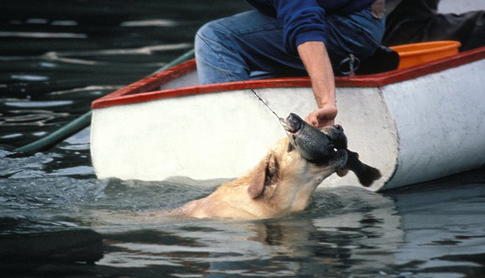 Yellow Labrador Retriever, Dog Fishing