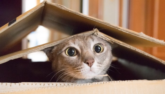 Cat looking startled and surprised while plays hide and seek in a box. only cat owners understand