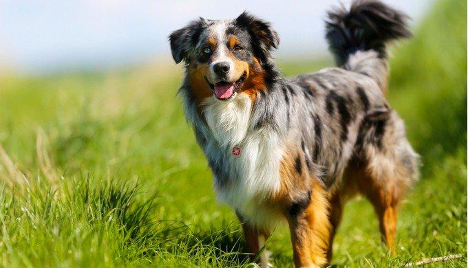 Quelles sont les races de chiens les plus faciles à éduquer ? Le Berger australien