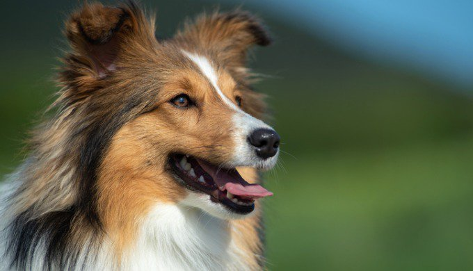 Quelles sont les races de chiens les plus faciles à éduquer ?