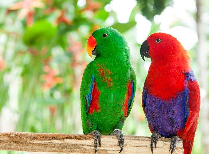 Couple de Grand Éclectus vert et rouge.