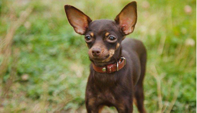 Découvrez le top 10 des plus petites races de chiens