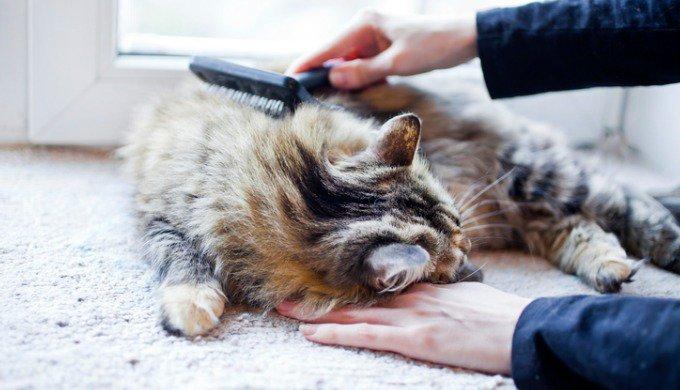 brosser chat poils longs