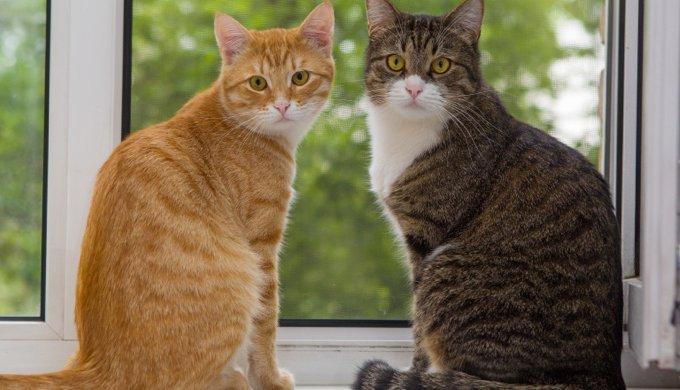 1498a9e4120 Découvrez les différentes robes des chats tigrés - Yummypets