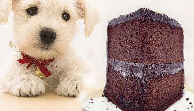 Will dogs get sick from eating chocolate
