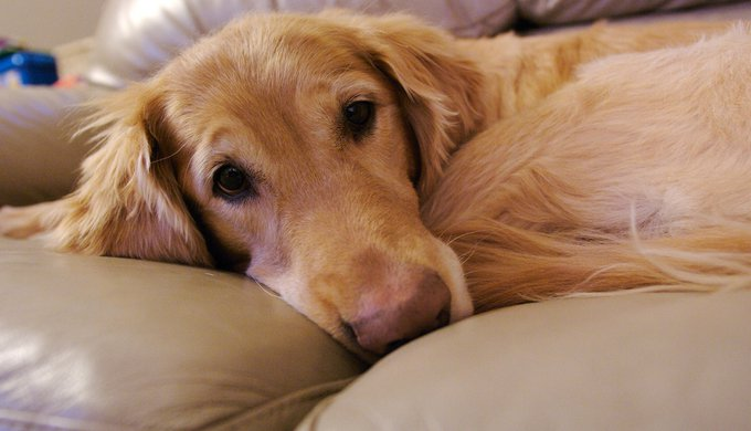 Seizures in dogs: the 5 most important natural remedies - Yummypets