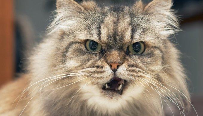 La Cataracte Du Chat Yummypets