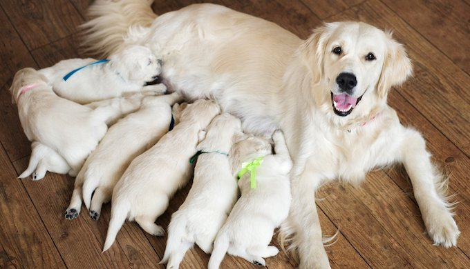 Lactation In Pregnant And Birthing Female Dogs Yummypets