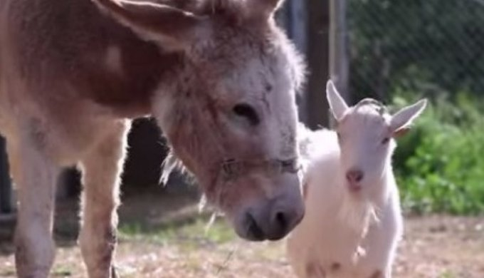 mr g and jellybean the amazing friendship between a goat and a