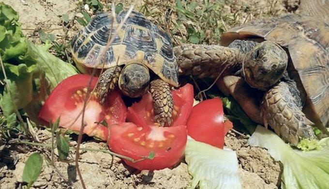 Adopter Une Tortue Terrestre Entretien Alimentation Sante