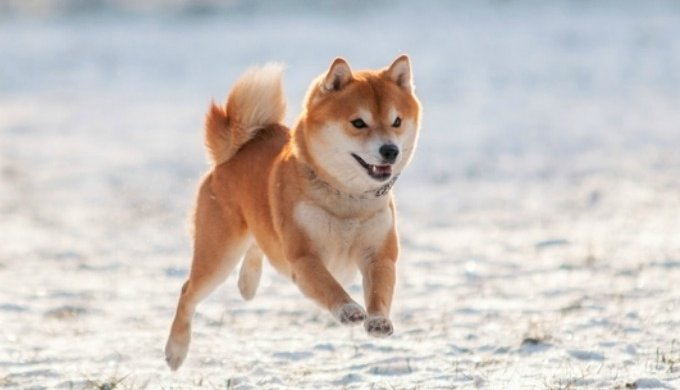 Top 5 Japanese Dog Breeds Yummypets