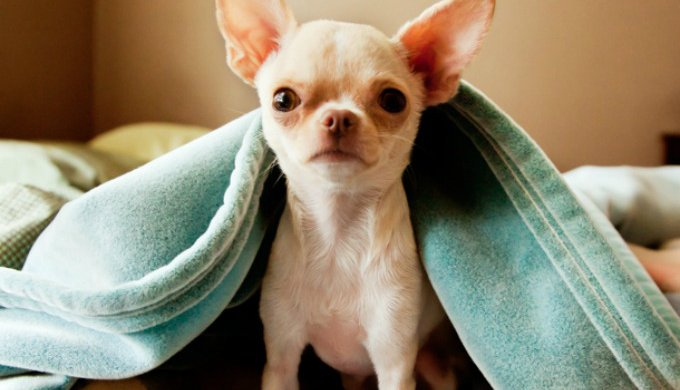 Top 10 reasons to adopt a Chihuahua - Yummypets