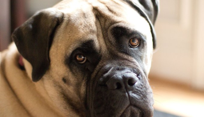 Know your breeds: the American Mastiff - Yummypets