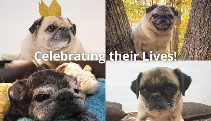 rest in peace a tribute to four incredible internet pugs