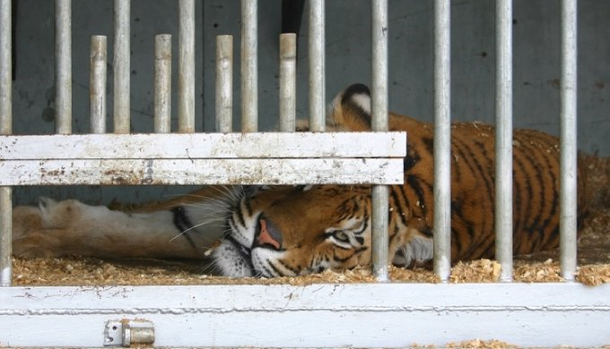 News Update: Tiger shot dead on Paris streets - Yummypets