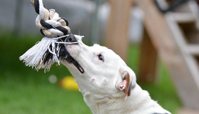 comment apprendre a son chien a grogner