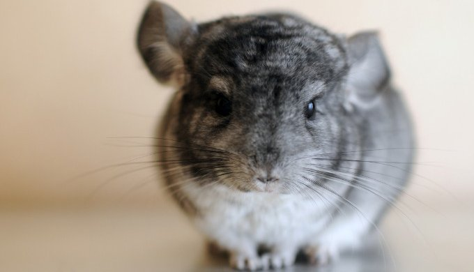 fur barbering why is my chinchilla eating its hair yummypets